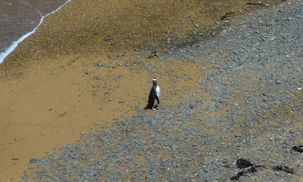 Das Neuseeland-ABC: Yellow-Eyed Penguin