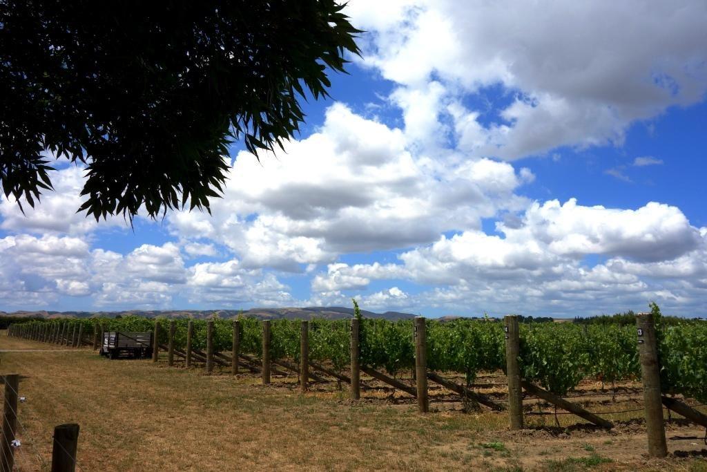 Martinborough - Der Weinort im Herzen des Wairarapa: Weinreben