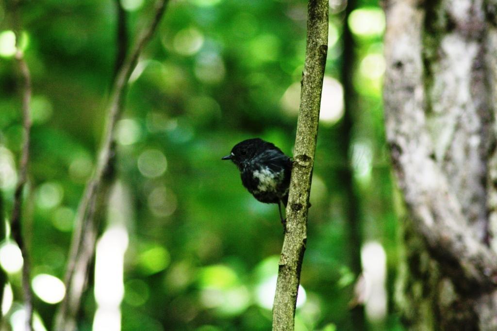 Kapiti Island - North Island Robin / Toutouwai