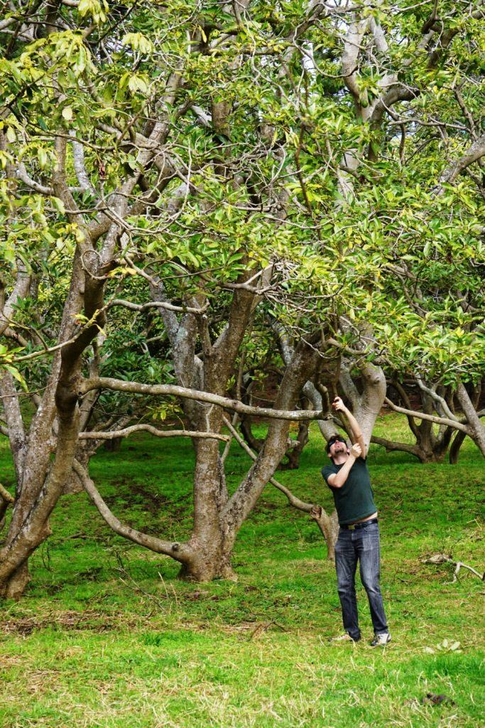 Avocado Orchard - Harte Arbeit