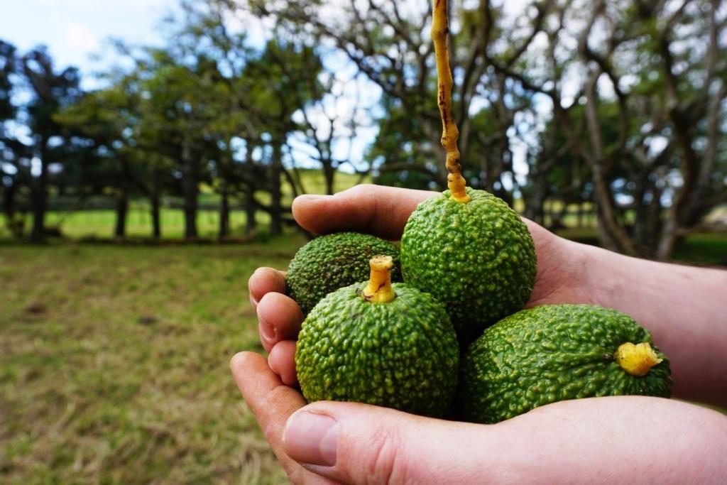 Avocado Orchard - Unsere Ernte