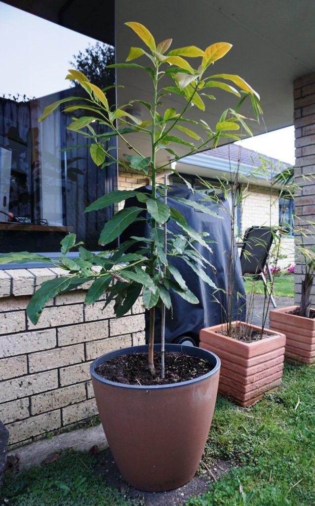 Avocado Orchard - Unser Avocadobaum auf der Terrasse