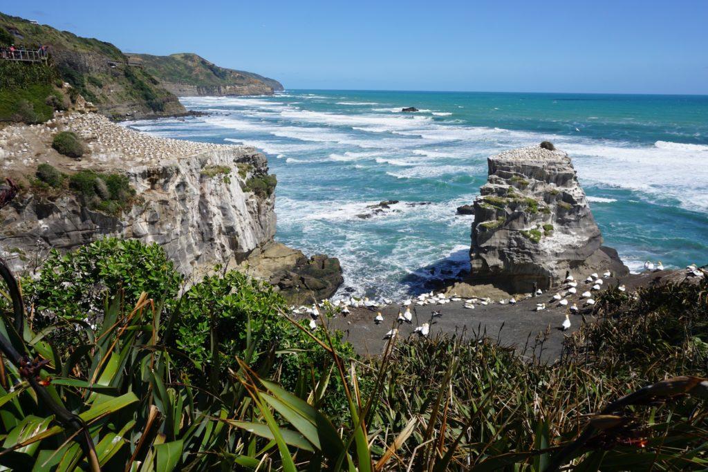 Tölpelkolonie in Muriwai Beach