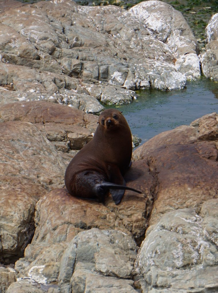 Robben an der Küste vor Kaikoura