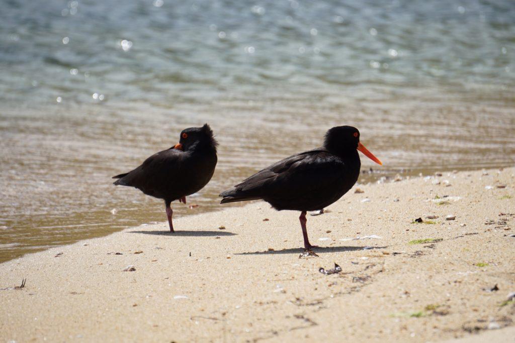 Zwei Austernfischer auf Browns Island