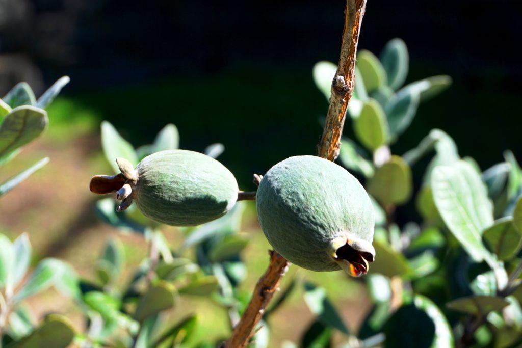 Feijoafrucht am Baum