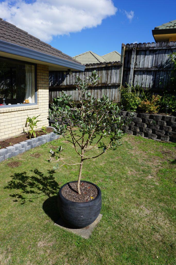 Feijoabaum im Garten