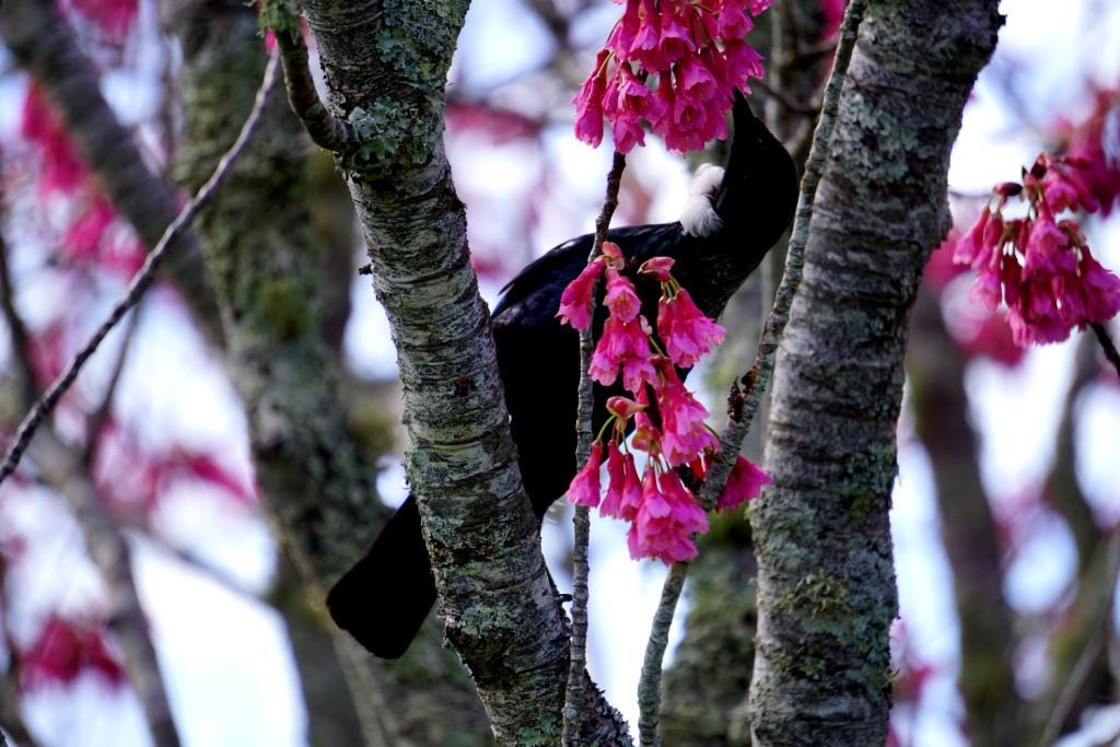 Tui Vogel sitzt in der Taiwan-Kirsche