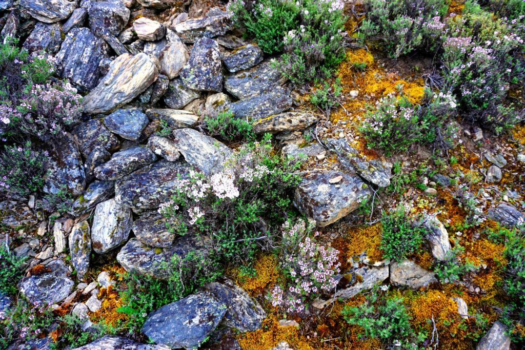 Wilder Thymian zwischen mit Moos bewachsenen Steinen