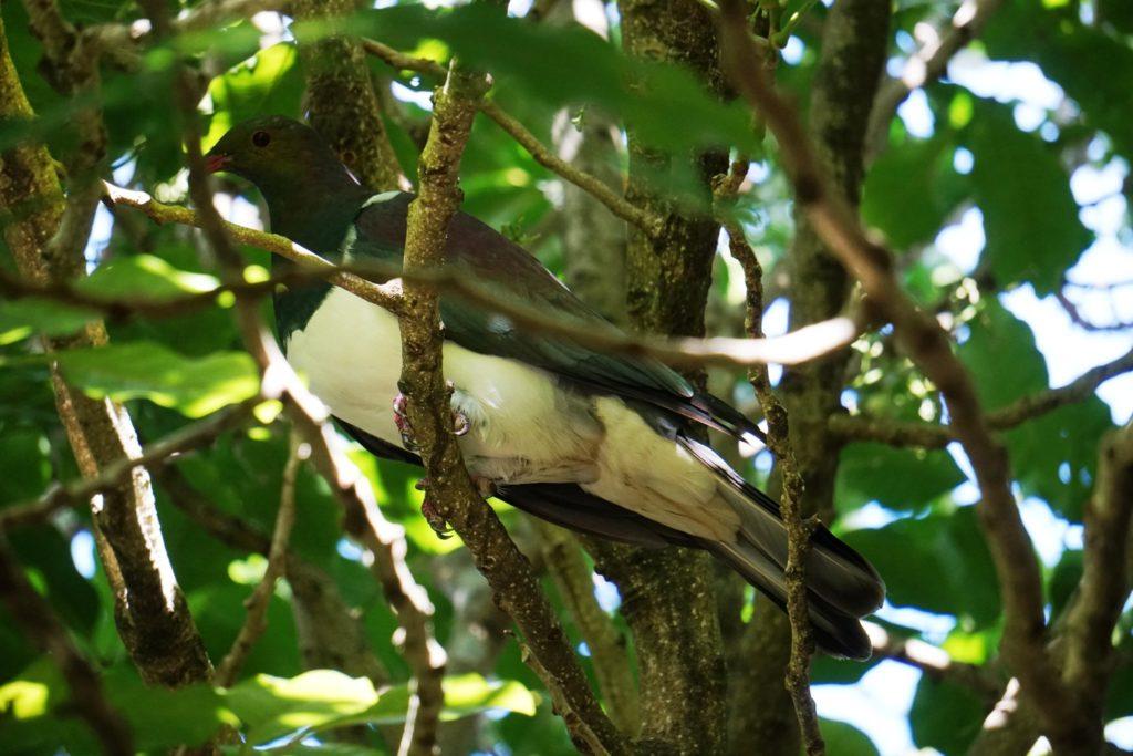Kereru oder New Zealand pigeon