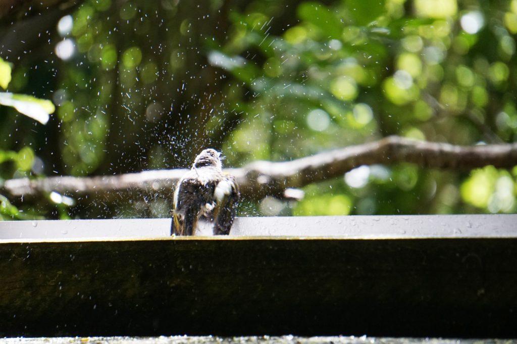 Die Wassertränke kann auch zum Baden genutzt werden