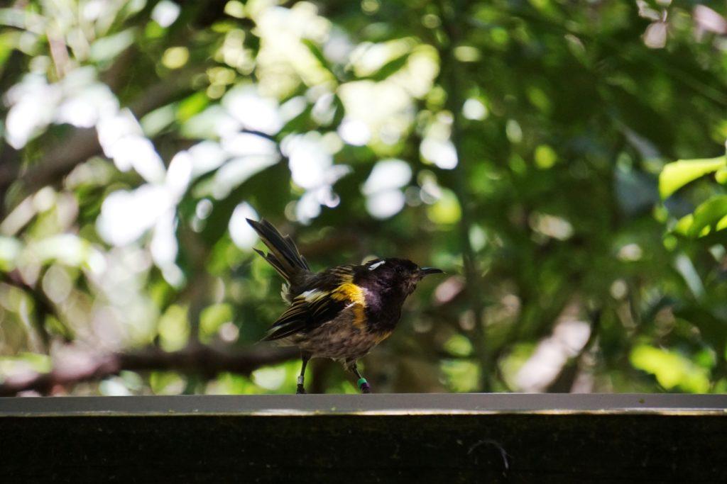 Hihi oder Stitchbird