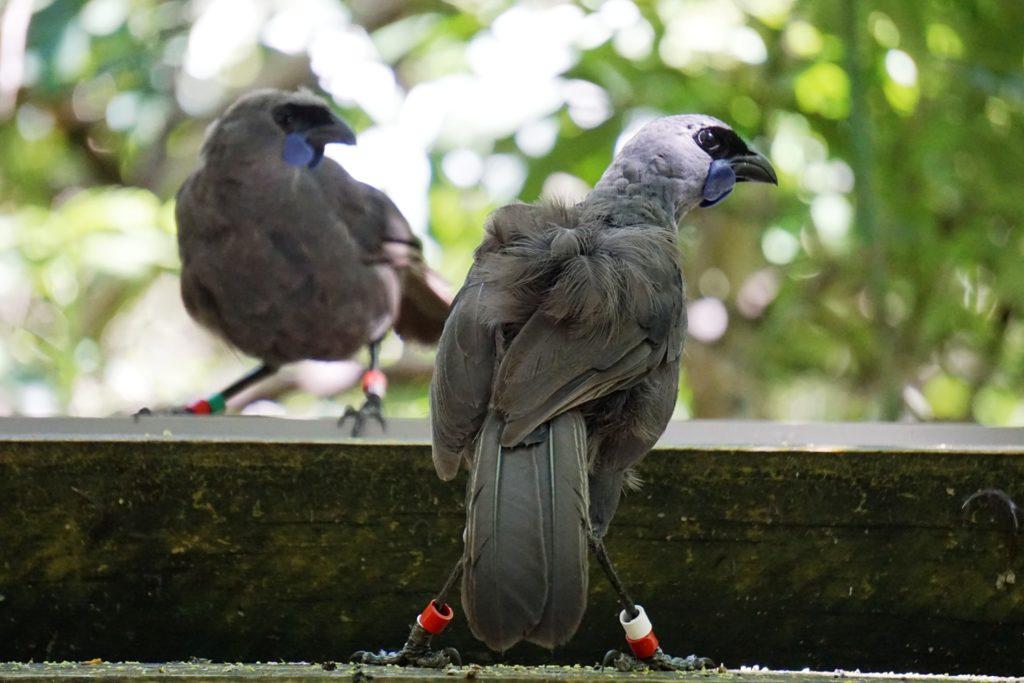 An der Wassertränke lassen sich selbst die seltensten Vögel blicken: Kokako