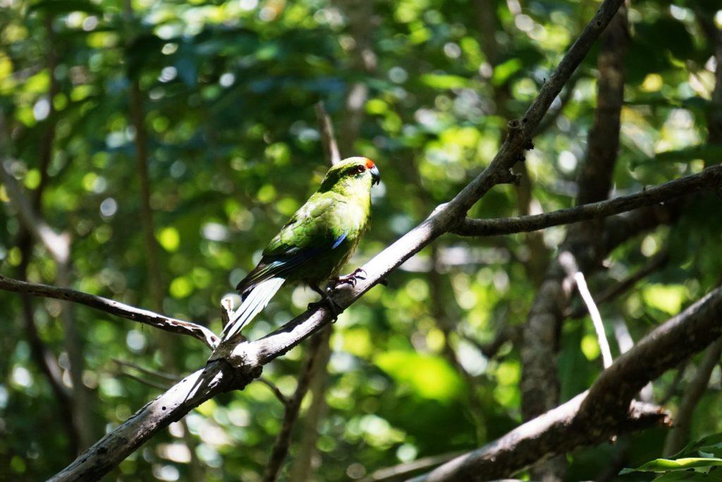 Kakariki oder Red-crowned paraket