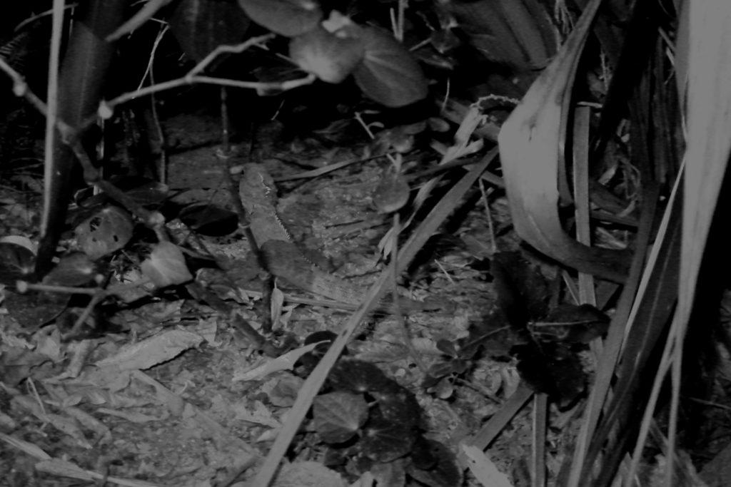 Tuatara bei Nacht