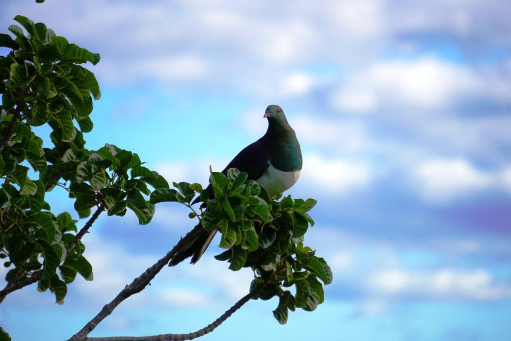 Kereru, die neuseeländische Waldtaube (etwa Huhn-groß)