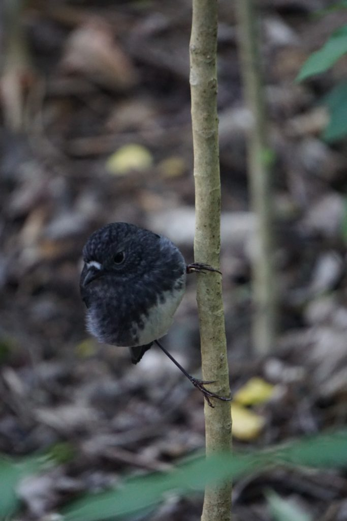 North Island Robin (etwa Spatzen-groß)